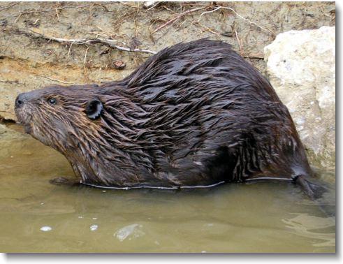 Beaver Removal Asheville