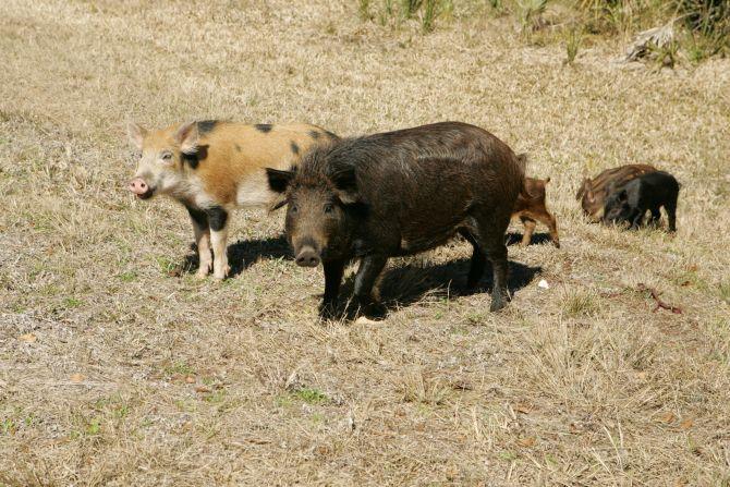 Wild Hog Removal Asheville