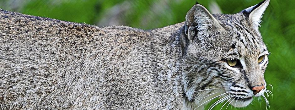 bobcat-trapping