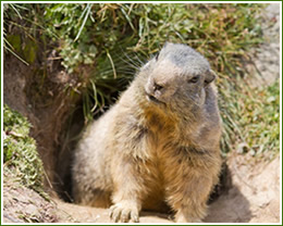 Control Groundhogs, holes in yard
