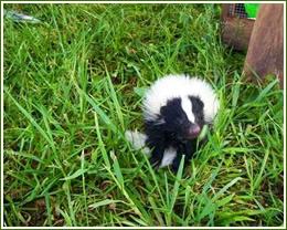 skunk removal, trapping skunks spray smell odor