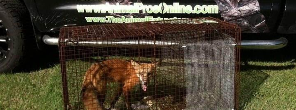 fox-trapping