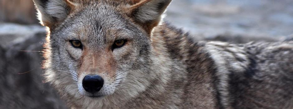 coyote-control