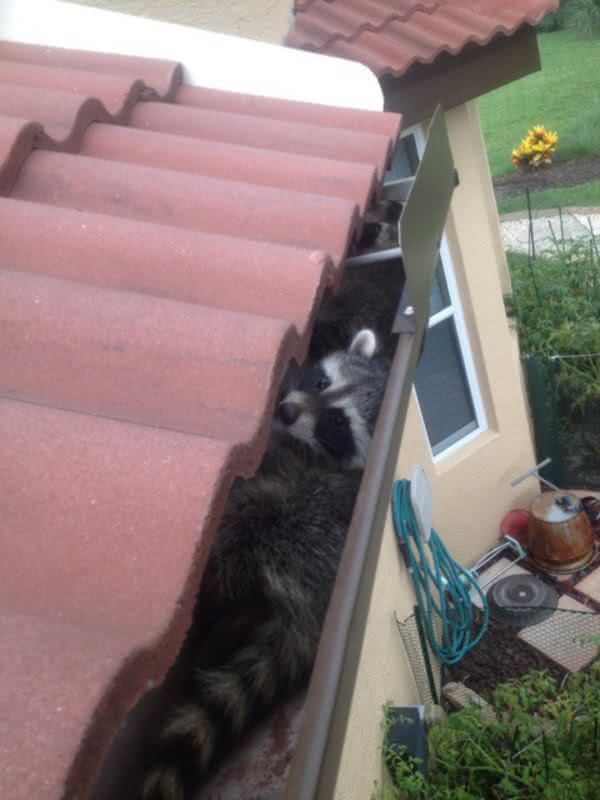 Johnson City Raccoon Removal Raccoons In The Attic