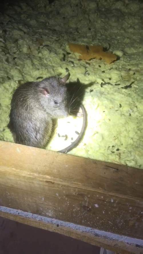 Knoxville Rats In The Attic Animal Pros