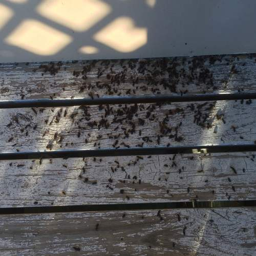 Bat Droppings On A Porch Knoxville Animal Pros