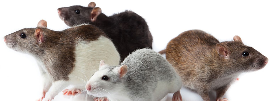 Knoxville Rat And Mice Removal And Control Services