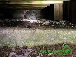 raccoon-attic
