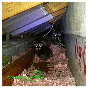 Animal Pros Louisville For Raccoons In Attic