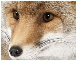 fox trapping, removal and control