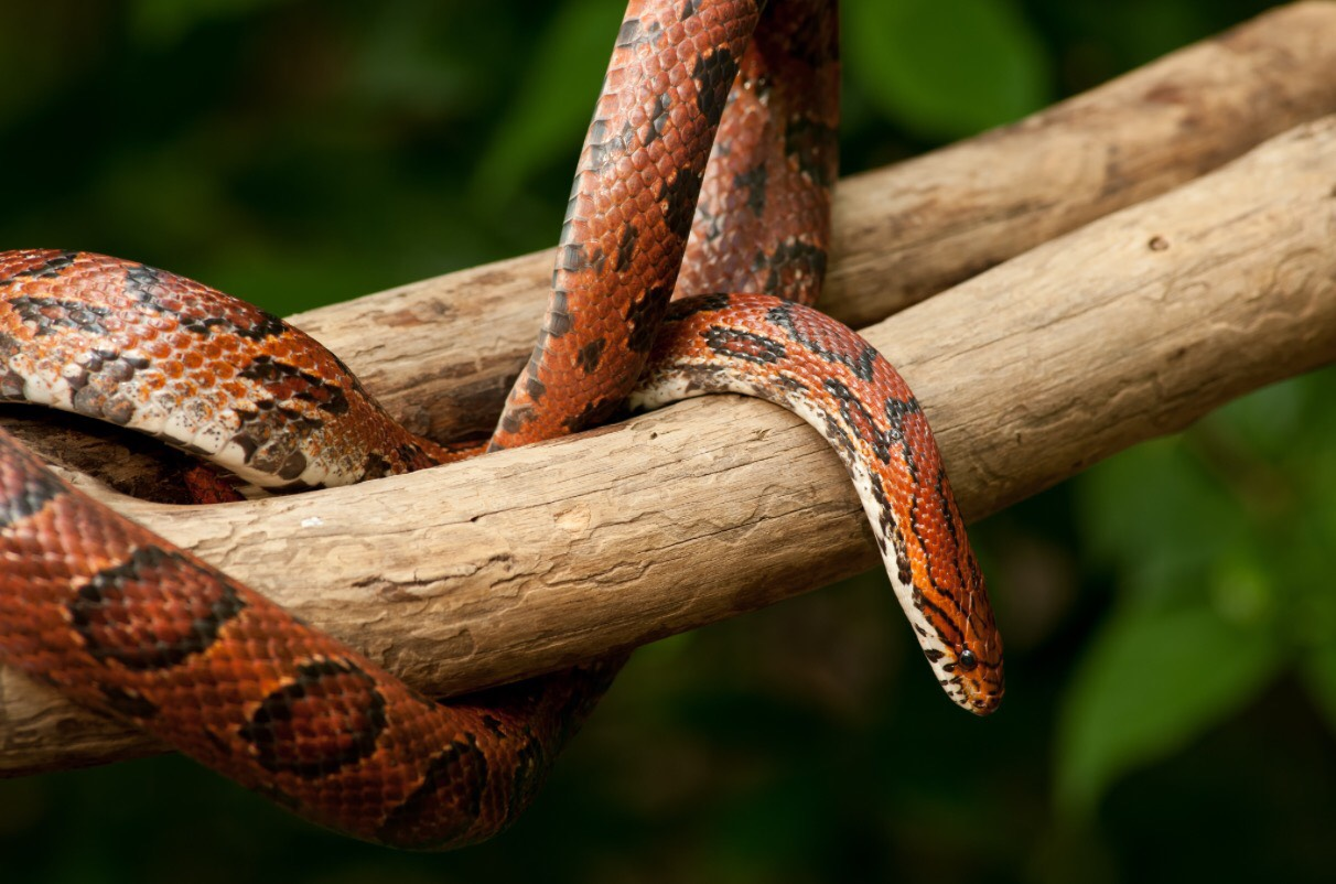 Memphis Snake Removal   Snakes In The Home   Snakes In The ...