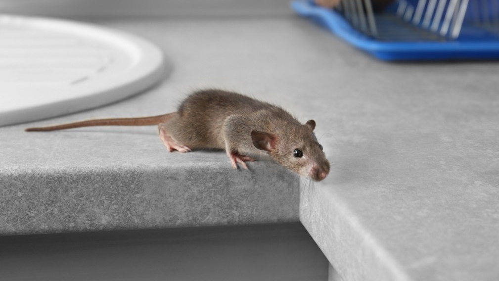 Memphis Roof Rat Removal Mice Control Animal Pros