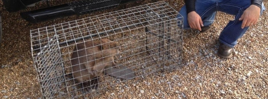 Memphis Beaver Removal Beaver Trapping Animal Pros
