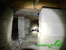 skunks-crawlspace