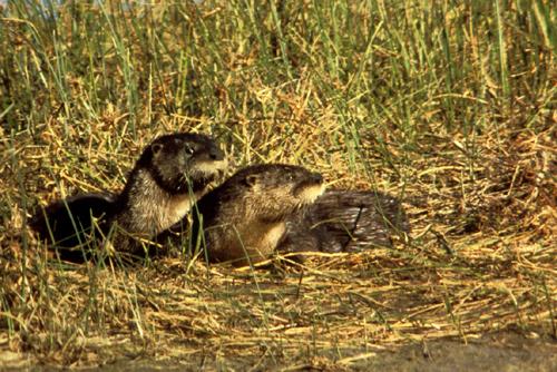 Otter Removal Miami