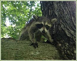 Raccoon control, removal of Raccoons dig garbage