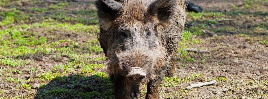 wild-hog-control