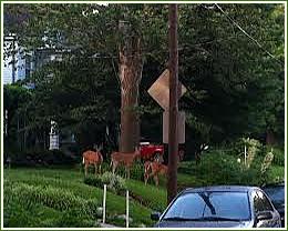 deer-removal