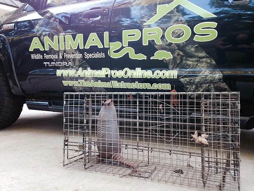 armadillo-trapping