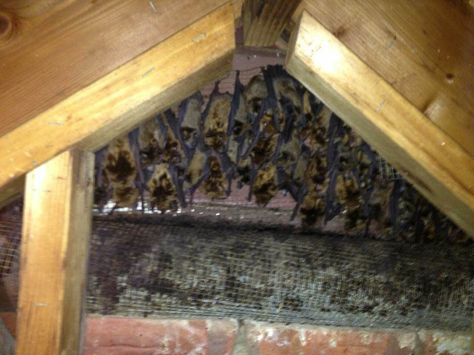How To Exclude Bats Safely From A Attic
