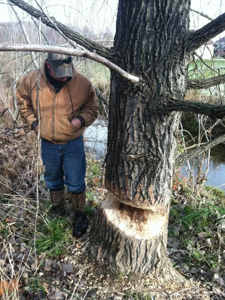 beaver-tree