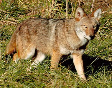 Coyote Removal Bowling Green