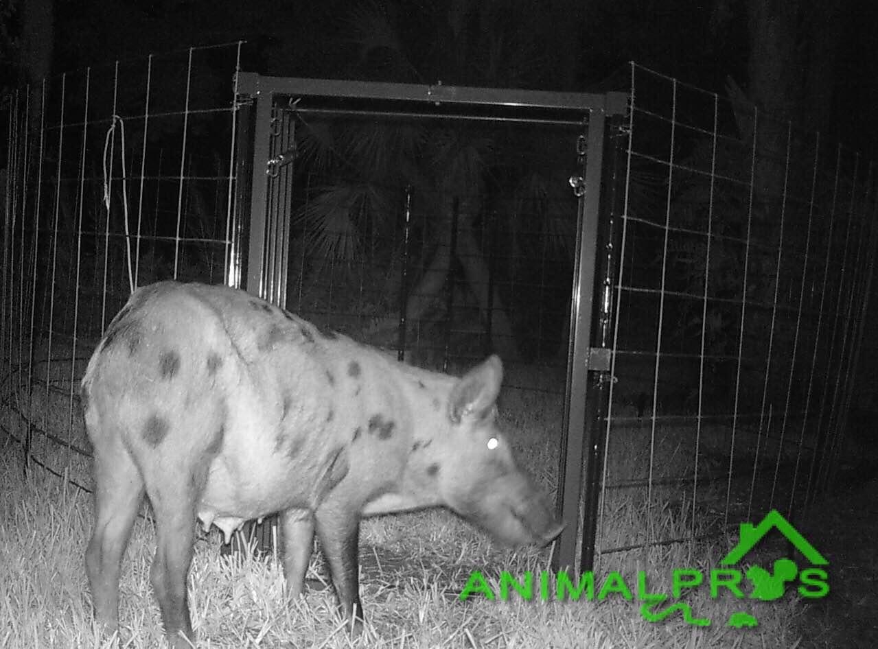 hog-trapping