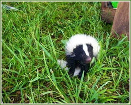 skunk removal, trapping skunks spray smell odor