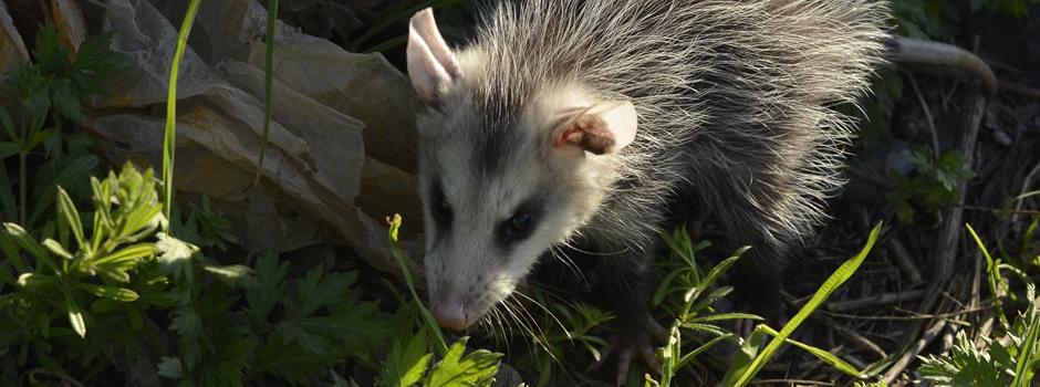 opossum-control