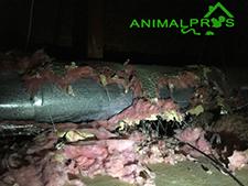 raccoon-attic-damage