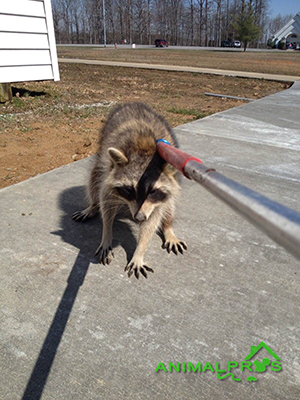 raccoons-yard
