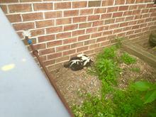 skunks yard
