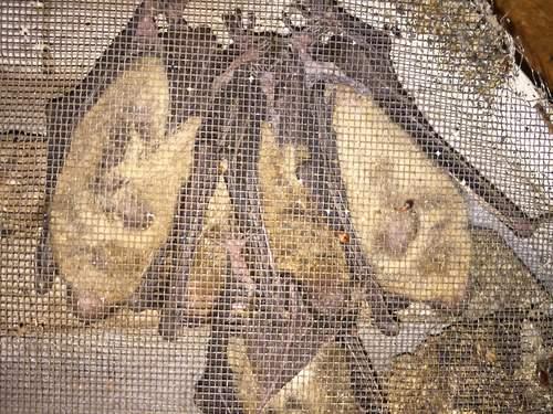 Have Bats, Now Bat Bugs in Nashville
