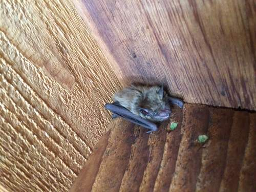 Bats Roosting On a Home in Nashville