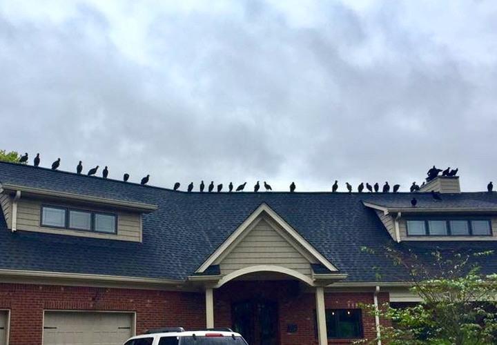 Nashville Vulture Control Vultures On Roofs Animal Pros