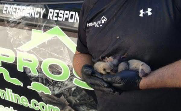 Raccoon Babies Nashville
