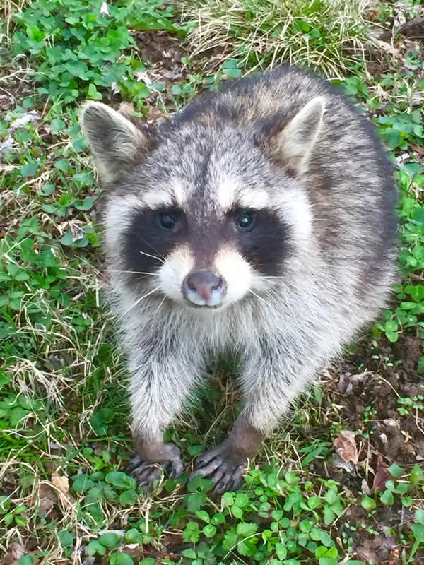 Nashville Raccoon Removal Raccoons In The Attic Animal