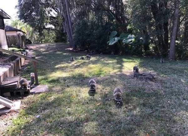 Nashville Raccoon Exclusion