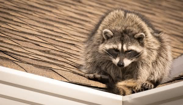 Raccoon Removal in Nashville