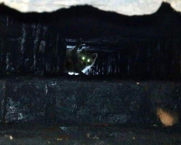 Raccoons in Chimney Nashville
