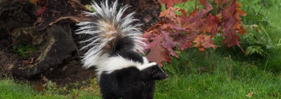 skunks removal (1)