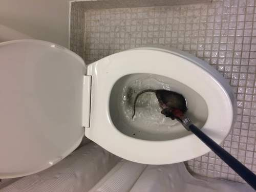 Tampa Rats Getting In The Toilet Animal Pros