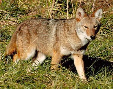 Coyote Removal Nashville
