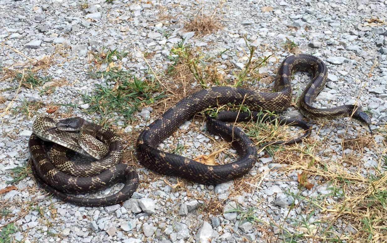 Gray Ratsnake | Snake Removal | Animal Pros